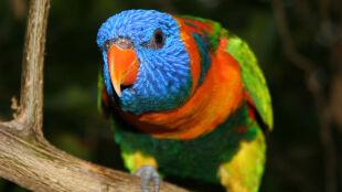 Plaga pijanych papug w Australii
