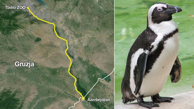 """Pingwinia ucieczka rodem z """"Madagaskaru"""". <br />Ptak dotarł do granicy z Azerbejdżanem"""