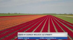 Tulipanowe pole na Żuławach